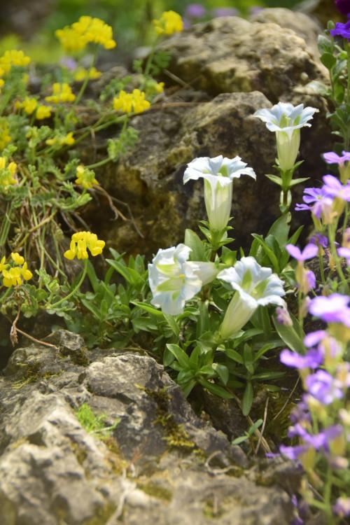Gentiana-angustifolia-Iceberg_2019-56e546a67d6199c9b.jpg